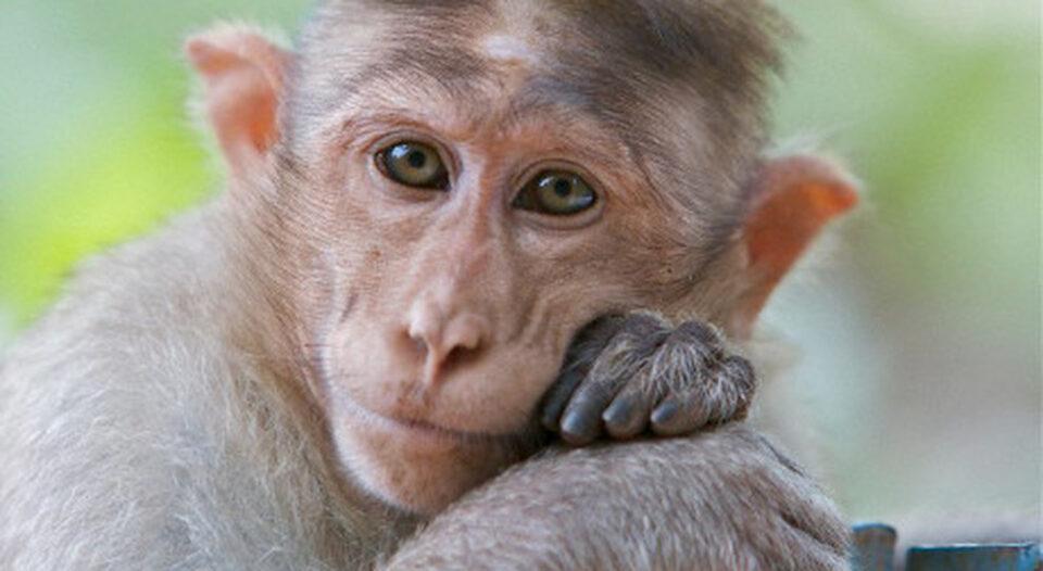 La Nasa, l'anno scorso, in un giorno uccise 27 scimmie giudicate malate e anziane