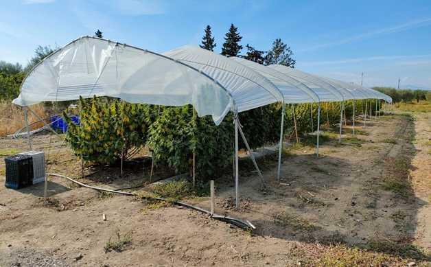 Policoro (MT). GdF sequestra 40 piante di cannabis